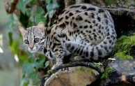 Video Cara Merawat Kucing Hutan Blacan Asian Leopard Cat Liar Agar Jinak